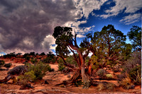 Tree, Canyonlands, Utah